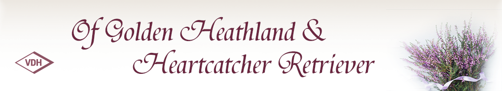 Of Golden Heathland & Heartcatcher Retriever