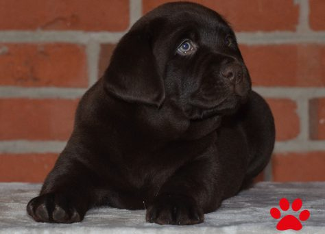 "A-Wurf ""Of Golden Heathland"" 11.10.2018 choco Labrador Retriever"