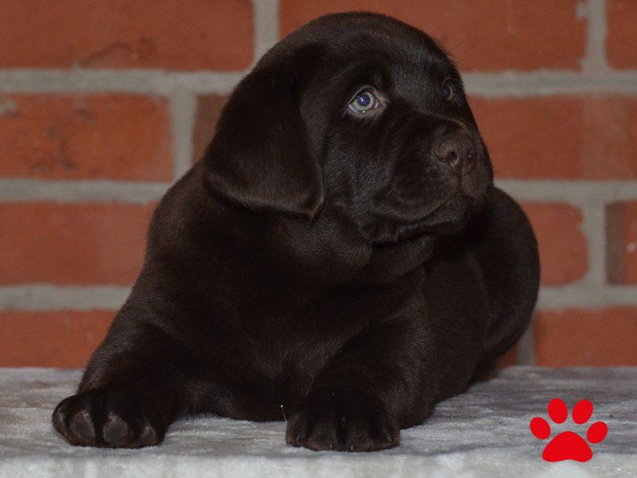 "A-Wurf ""Of Golden Heathland"" 11.10.2018 choco Labrador Retriever"