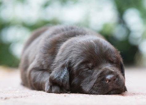 B-Wurf choco Labrador Retriever Welpen 30.07.2019