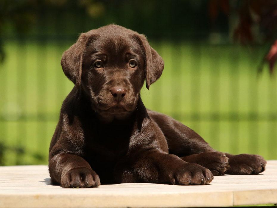 E-Wurf Labrador Of Golden Heathland 22.03.2021